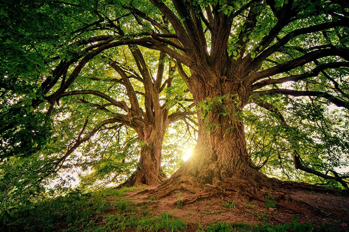 2 large mature trees