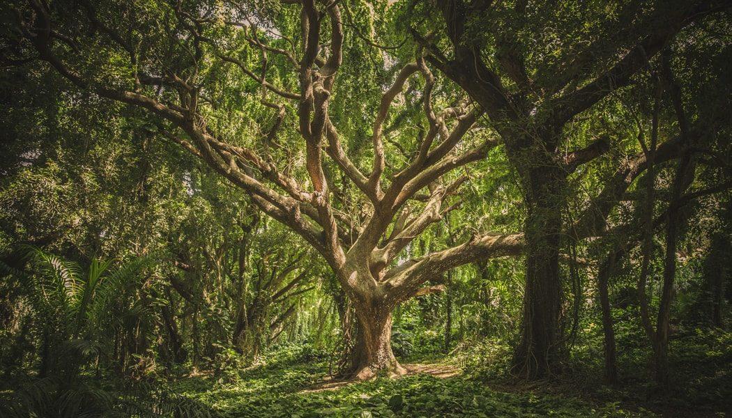 Large mature tree